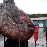 Pez de dimensiones increíbles es capturado en Rusia