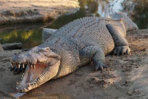 Dentro de un cocodrilo de 4.7 metros un granjero encuentra una placa ortopédica