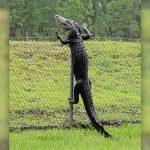 Caimán trepando