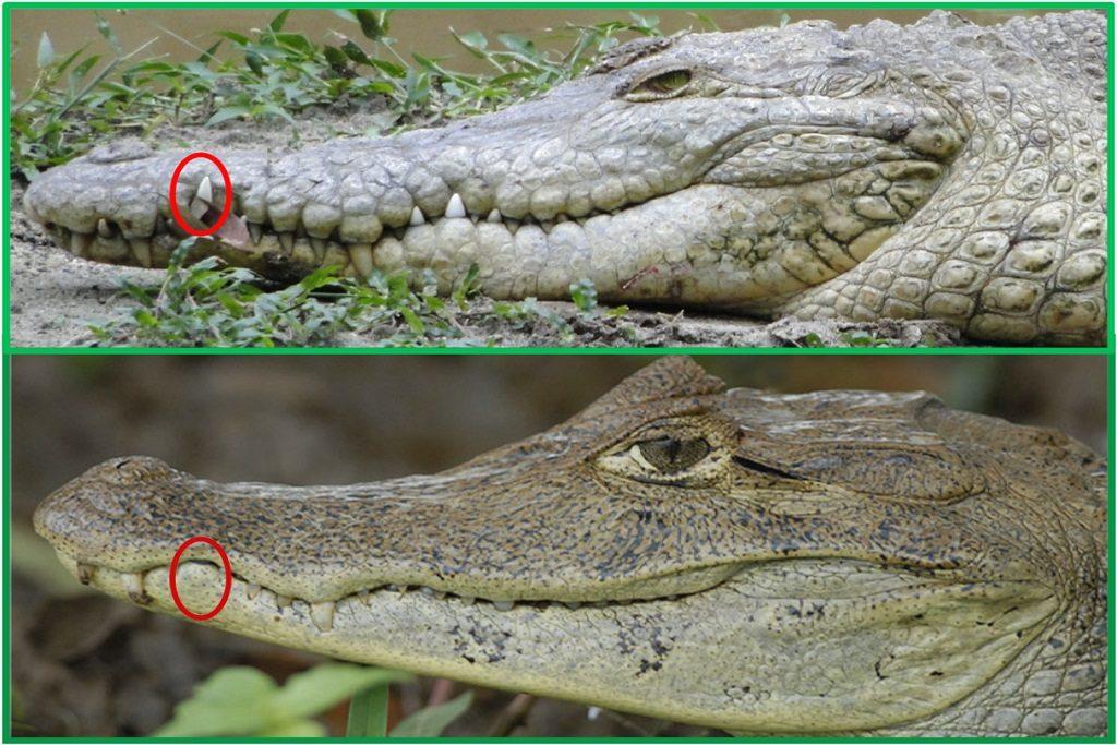 Cocodrilo y caimán son distintos