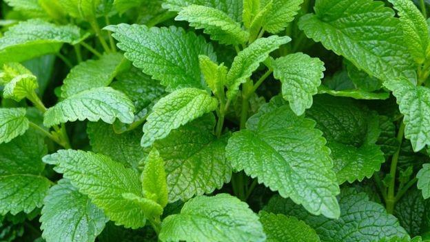 Las plantas medicinales para el Malestar estomacal y resaca