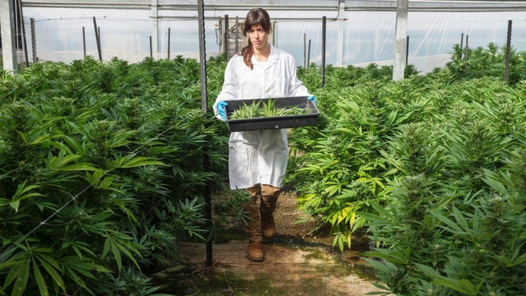 Exportación de marihuana medicinal.