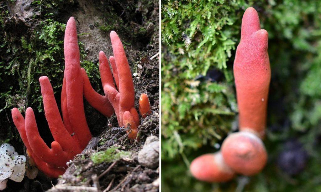 Hongo mortal conocido como coral de fuego y originario de Japón y Corea descubierto en la selva tropical australiana