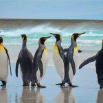 Malvinas apuestan por pingüinos rey para impulsar el turismo de naturaleza