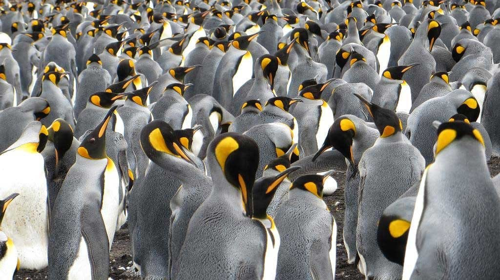 Colonia de pingüinos rey en las Malvinas