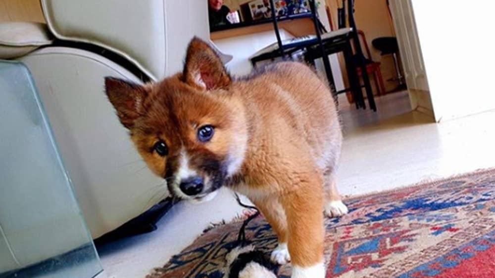Cachorro perdido dingo