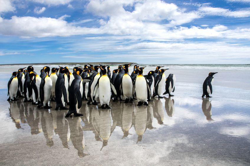 Malvinas apuestan por pingüinos