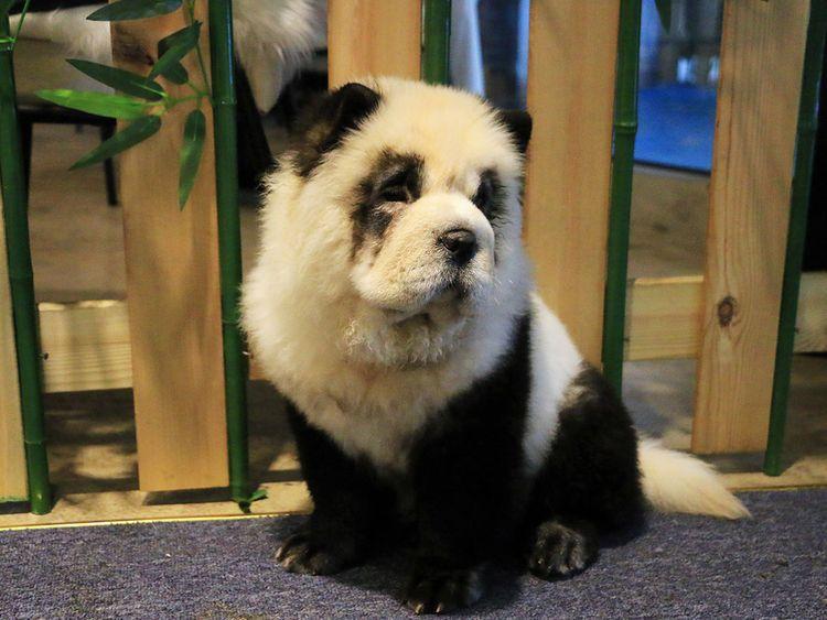 Perro panda en el café