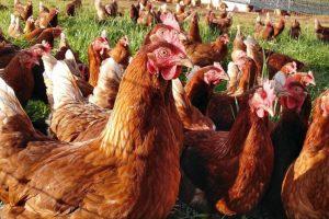 1000 gallinas ganadas en una subasta