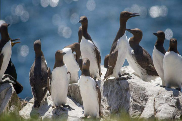 La ola de calor masiva del mar terminó con la vida de miles de aves de Arao común