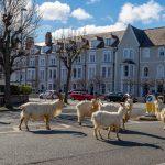 Cabras caminando por una ciudad desierta