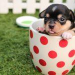 Cachorro chihuahua dentro de una teasa de beber sobre el césped de un jardín