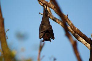 Murciélago colgado de un rama con su cabeza hacia abajo