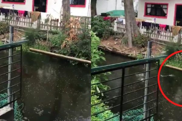 comportamiento de los peces en terremoto