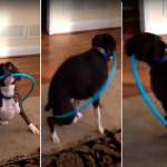 perro intentó girar un hula-hula