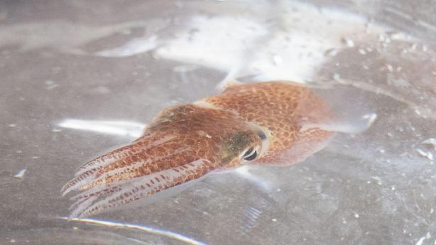 NASA tiene calamares hawaianos en el espacio 3