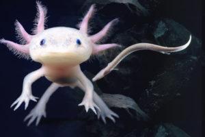 Animal que se regenera