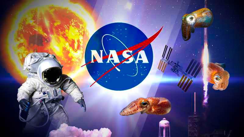 ¿Por qué la NASA tiene calamares hawaianos en el espacio?
