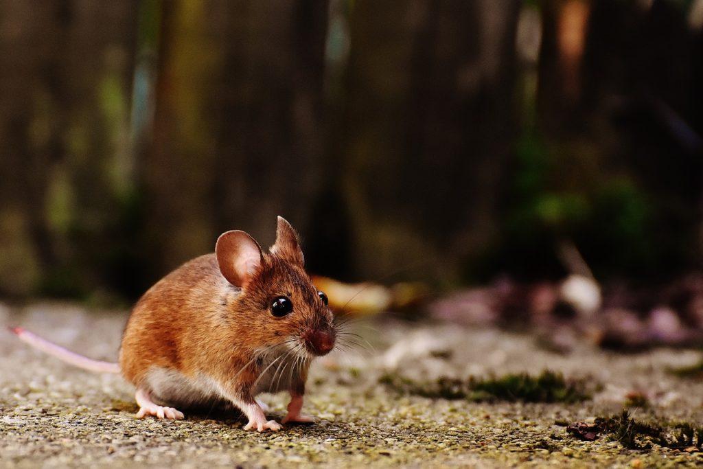 ratones desaparecerán para siempre 4