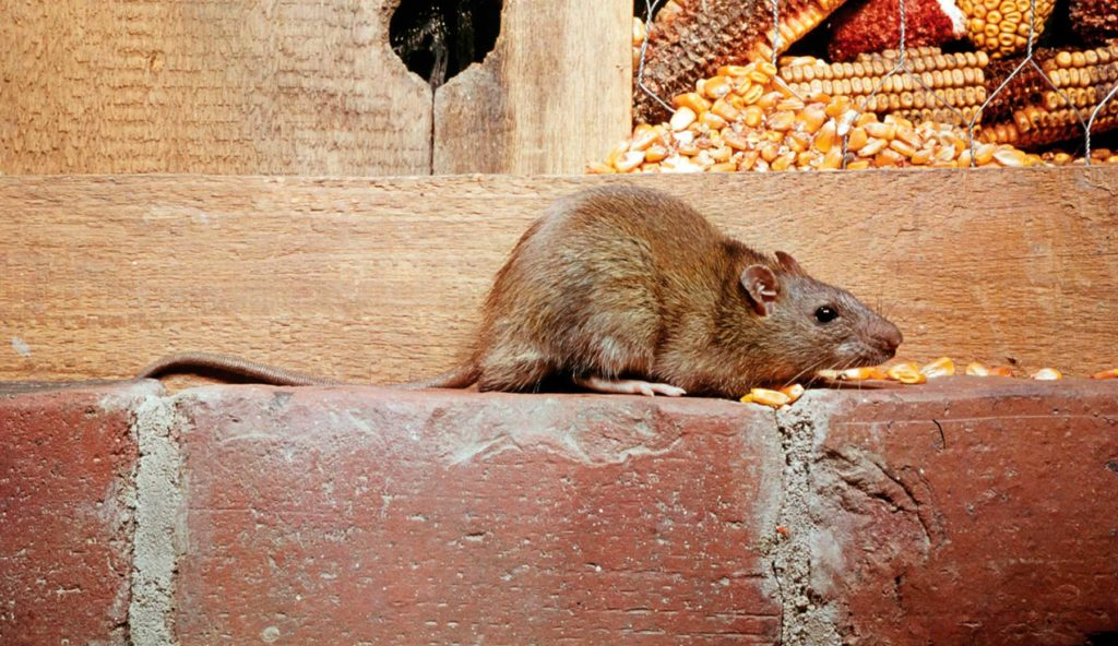 un ratón puede nadar durante 72 horas 2